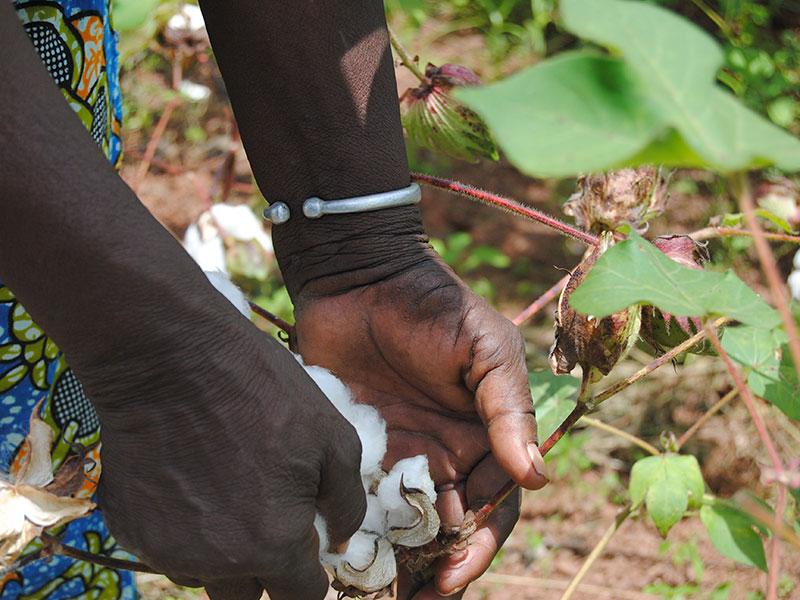 Récolte du coton à Dano